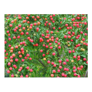 Kousa Dogwood Berries Postcard