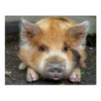 KuneKune Pigs Postcard