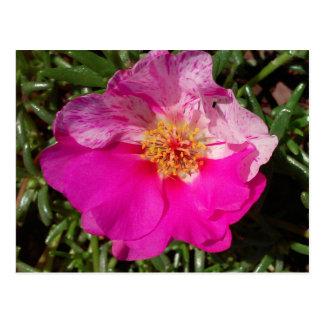 La mousse rose et blanche s'est levée cartes postales
