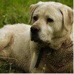 Labrador Photo Standing Photo Sculpture