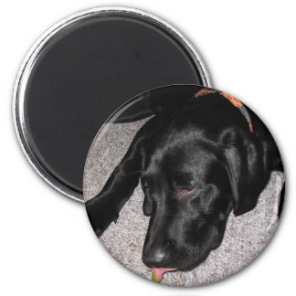 Labrador Puppy Is Eating Grapes Magnet