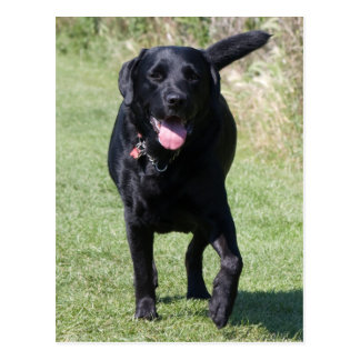 Labrador Retriever black dog beautiful photo Postcard
