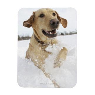 Labrador retriever jumping through deep snow rectangular photo magnet