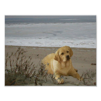 Labrador Retriever on the beach Poster