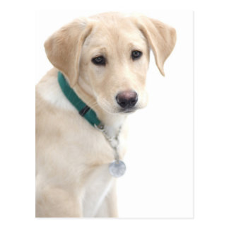 Labrador Retriever Puppy, MR) Postcard