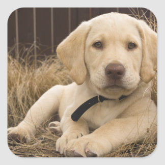 Labrador Retriever puppy Square Sticker