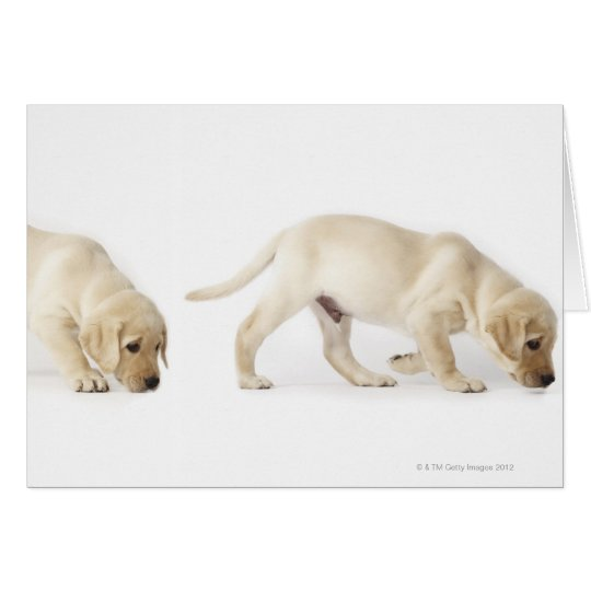 Labrador Retriever Puppy walking Card