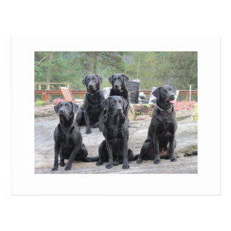 Labradors in Norway Postcard