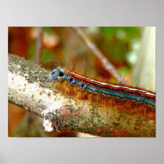 Lackey Moth Caterpillar Poster