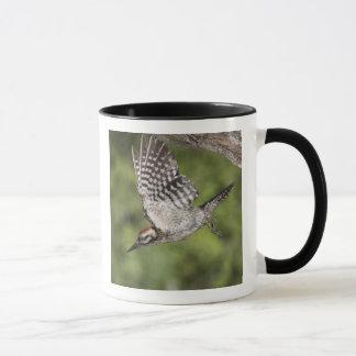 Ladder-backed Woodpecker, Picoides scalaris, Mug