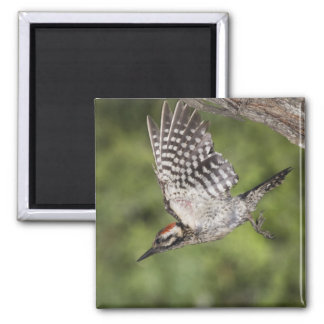 Ladder-backed Woodpecker, Picoides scalaris, Square Magnet