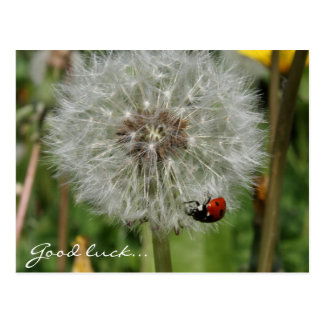 lady beetle - ladybird on dandelion postcard