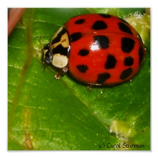Lady Bug Canvas Pring Posters