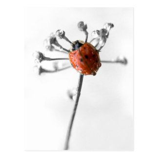 Lady Bug on Dill Flower with Dew Postcard