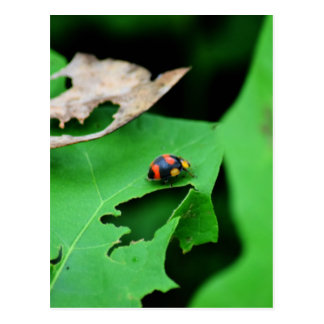 LADY BUG ON LEAF AUSTRALIA POSTCARD
