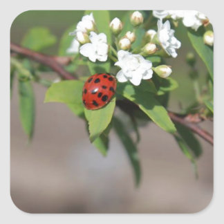 Lady Bug resting near so white flowers in bloom Square Sticker
