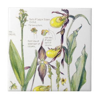 Lady Slipper Orchids Wildflower Flowers Tile