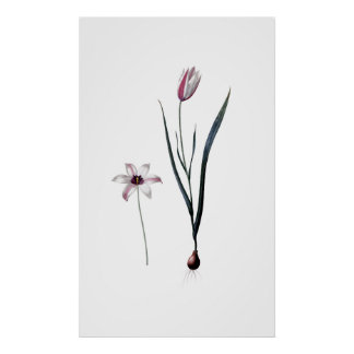 Lady Tulip PREMIUM BOTANICAL PRINT