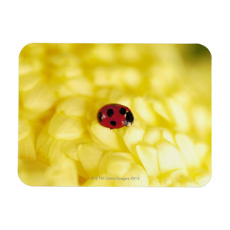 Ladybird on a yellow chrysanthemum magnet