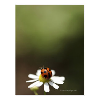 Ladybird on Chamomile Flower Postcard