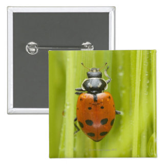 Ladybird on grass, close-up 2 inch square button