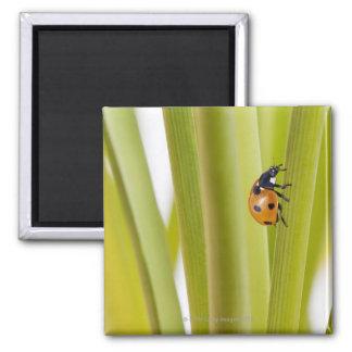 Ladybird on plant stems magnet