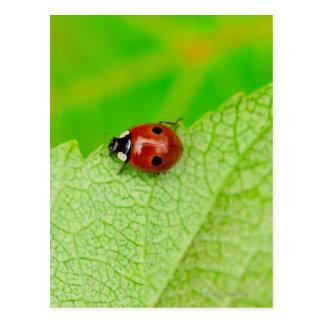 Ladybird walking across a leaf postcard