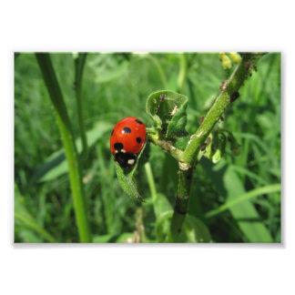Ladybug and Aphids Photo Print