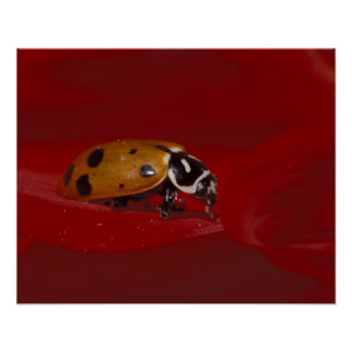 Ladybug Beetle. (Hippodamia convergens) 2 Poster