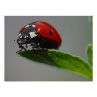 Ladybug Lovers Gifts Poster