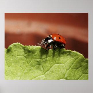 Ladybug on lettuce leaf (MR) Poster
