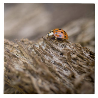 Ladybug on old wood, Apalachicola Bluffs and Ceramic Tiles
