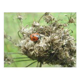 Ladybug on Queen Anne's Lace Postcard