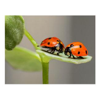 Ladybugs card postcard