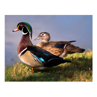 Lakeside, Wood Duck Postcard