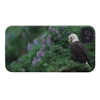 L'Alaska, île d'Unalaska Eagle chauve parmi Nootka Coques iPhone 4