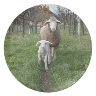 Lamb and sheep plates