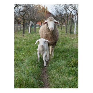 Lamb and sheep postcard
