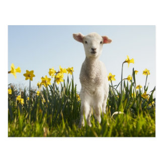 Lamb in a Field of Flowers Postcard