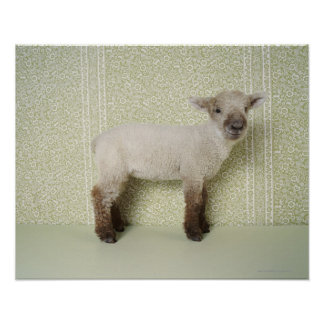 Lamb Standing Indoors and Floral Wallpaper Posters