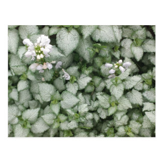 Lamium maculatum (White Nancy) postcard