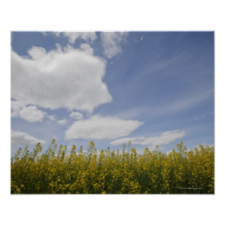 landscape of canola field ready to harvest poster