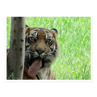 langue de tigre de sumatran cartes postales