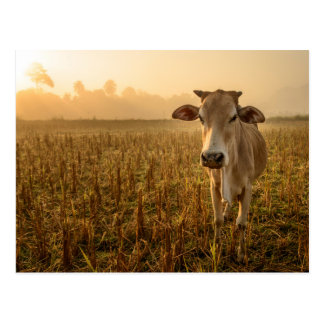 Laos, Vang Vieng. Cow at sunrise Postcard