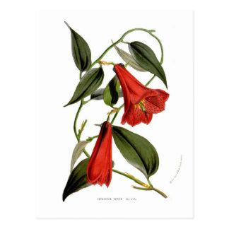 Lapageria rosea postcard