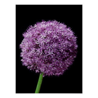 Large Allium Poster