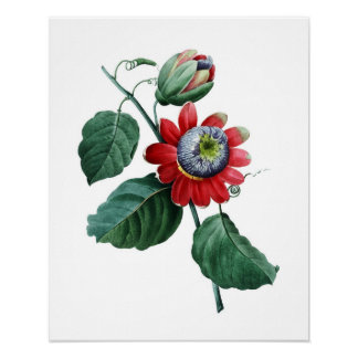 LARGE Botanical print of PASSIFLORA by Redoute