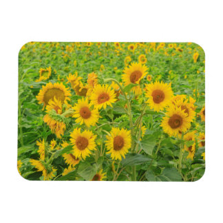 Large field of sunflowers near Moses Lake, WA 2 Rectangular Photo Magnet