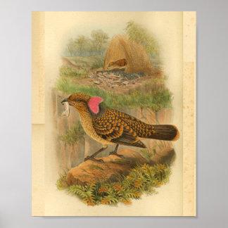 Large Frilled Bower Bird Brown Vintage Print
