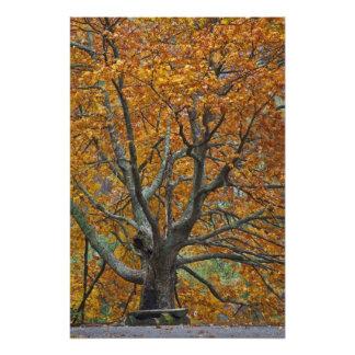 Large maple tree in autumn, Bass Lake, near Photo